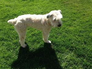 Soft Coated Wheaten Terrier, Simon